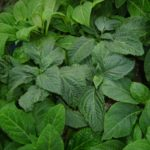 51KWiPa0mzL1 150x150 Mugwort hallucinogens great benefits depressant alike all herbs