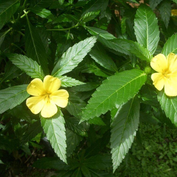 Poudre de Turnera diffusa (Damiana)