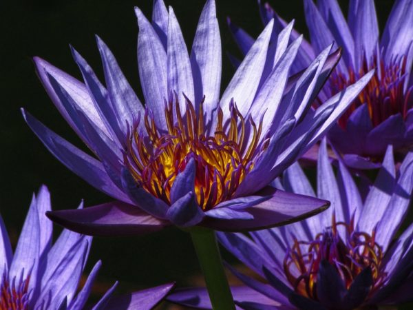 The Secret Life of the Blue Lotus