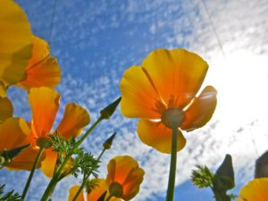 those california poppies in bright sunlight  portland oregon 2013 300x225 California Poppy depressant alike all herbs