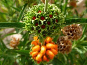 A Cannabis Substitute? Leonotis Leonurus or Wild Dagga