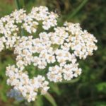 Yarrow flower | yarrowherbflowersachilleamillefoliumimg4824cr 300x2251