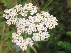 Fleur d'achillée millefeuille | yarrowherbflowersachilleamillefoliumimg4824cr