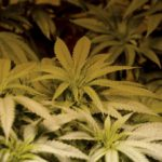 Top 50 des variétés de marijuana les plus populaires de tous les temps | culture légale de marijuana au Colorado