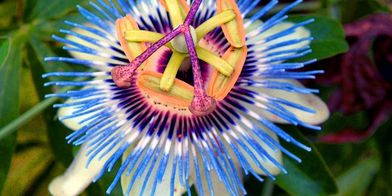 Passion Flower Study Proves Anti-Anxiety Link