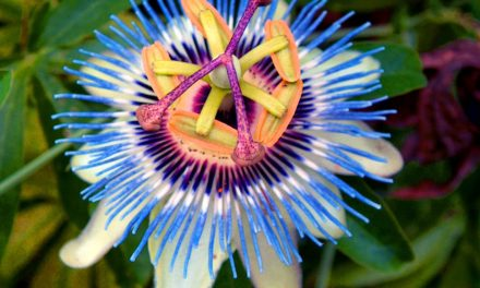 Why Does Passion Flower Work?