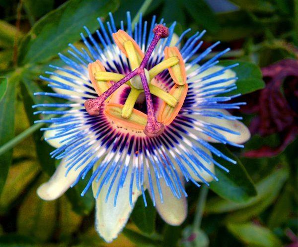 6 avantages de la fleur de la passion | passion