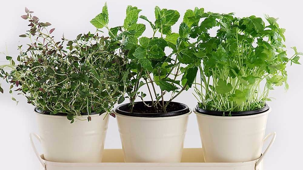 7 herbs you can grow at home. Black Bedroom Furniture Sets. Home Design Ideas