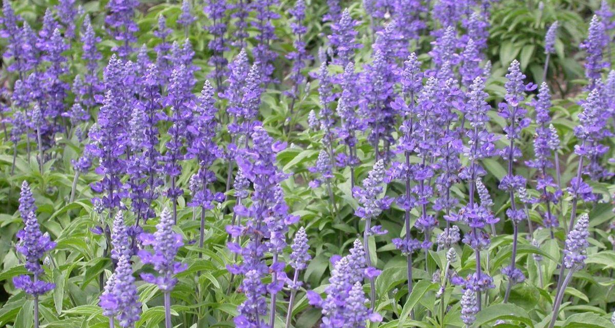 Learn How to Grow Salvia