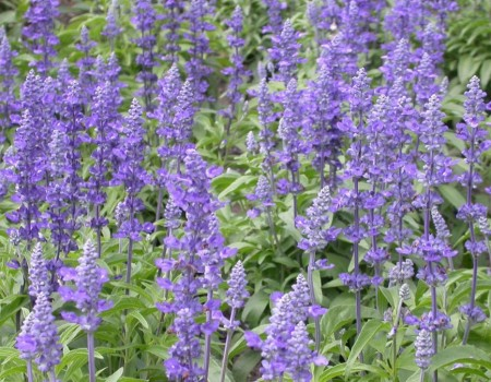 Learn How to Grow Salvia