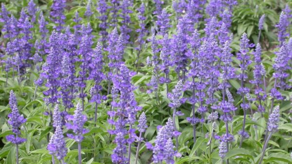 Learn How to Grow Salvia | salvia