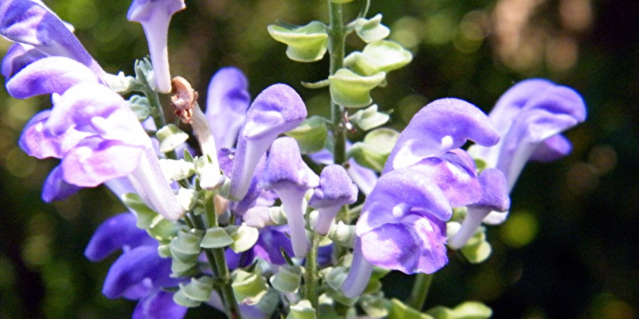 The Benefits of Skullcap