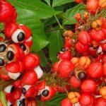 Tout savoir sur le Guarana | guarana