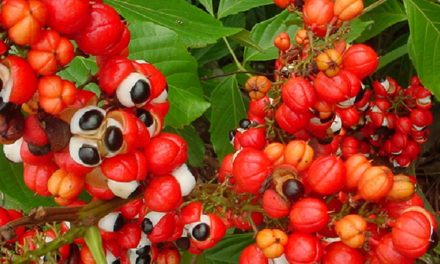All About Guarana