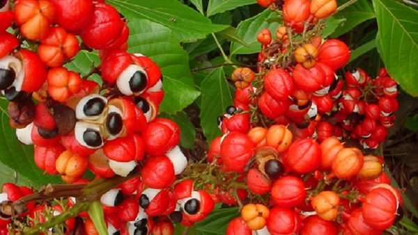 All About Guarana | guarana