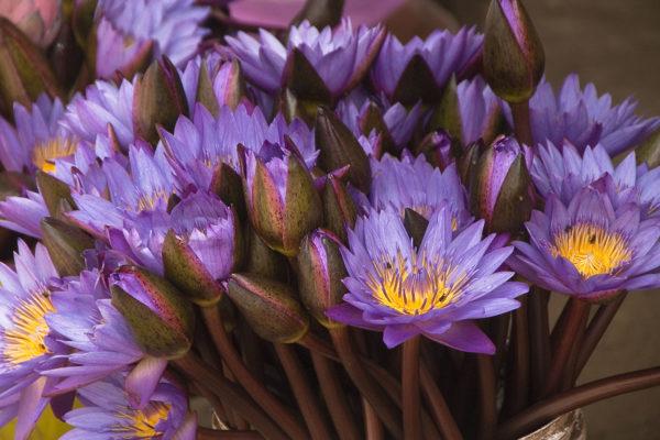 Blue Lotus | Blue lotus 5108871041