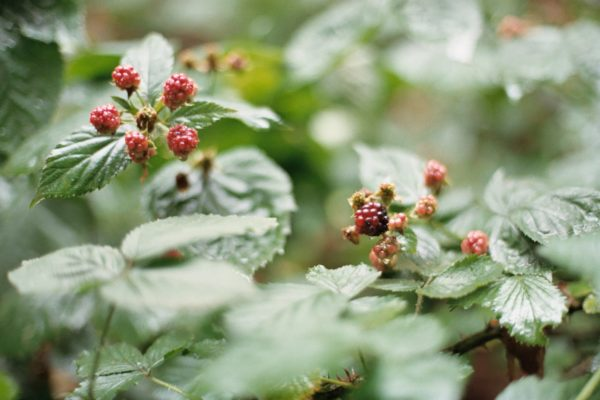 Raspberry leaf | ines castellano q5OVWAIrYjs unsplash