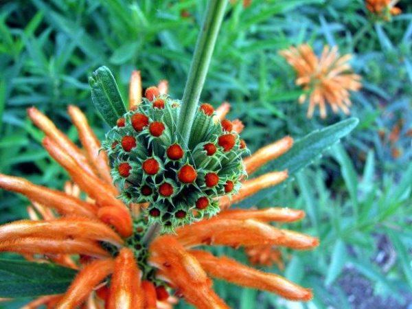 Wild Dagga Flower | wild dagga close up e1592664443661