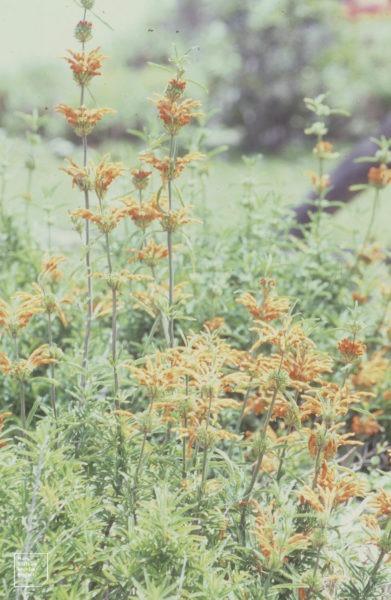 Fleur de dagga sauvage | fleurs de dagga sauvage