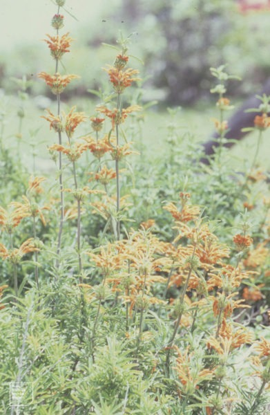 Wild Dagga Flower | wild dagga flowers